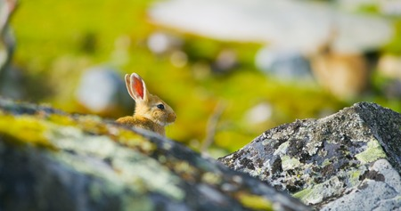 Cute rabbit in fall sitting in the grass behind rocks. Stock Photo