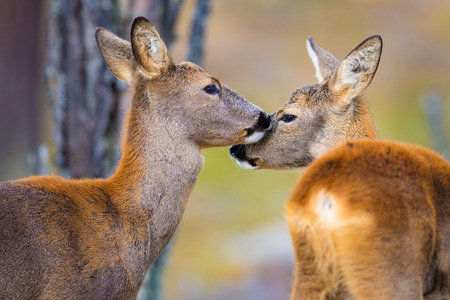 Two cute roe deers in the forest at fall