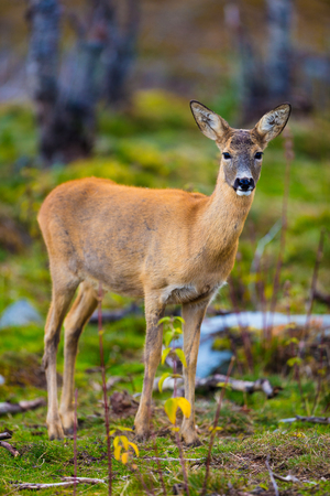 One roe deer in the forest at fall Stock Photo