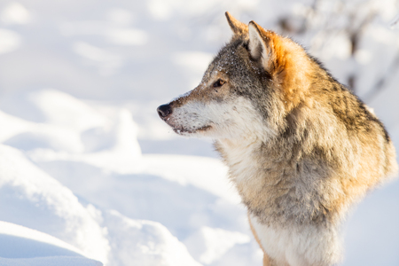 Close-up portrait of wolf in beautiful winter landscape