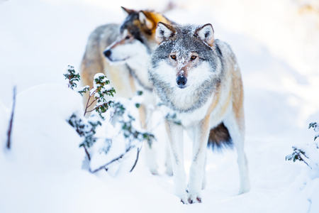 Two large wolves in cold winter landscape Stock Photo