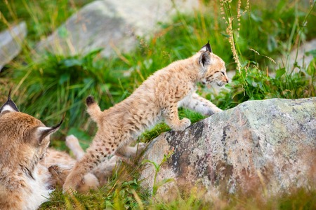 Lynx mother and cute young cubs playing in the grass