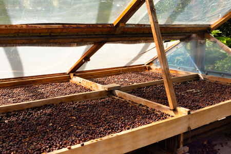 Organic Raw Coffee Beans Drying In Wooden Crate