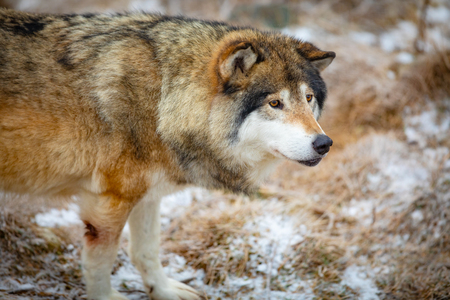 Close-up of male wolf standing in the forest in early winter Stock Photo