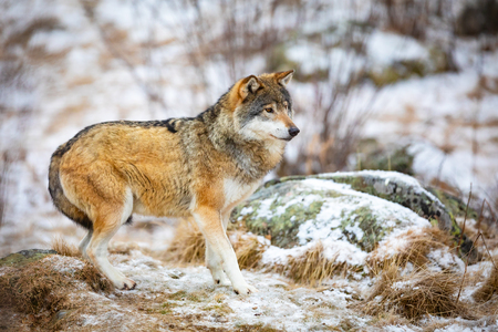 One scared wolf in the forest in early winter Stock Photo