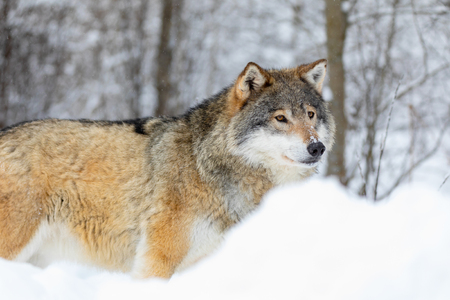 Wolf stands in the snow in beautiful winter forest 版權商用圖片