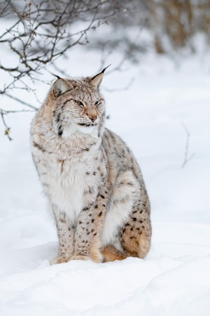 Portrait of a cute lynx cub in the cold winter forest Stock Photo