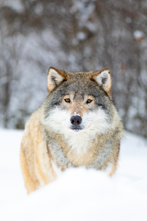 Male wolf stands in the snow in beautiful winter forest Reklamní fotografie