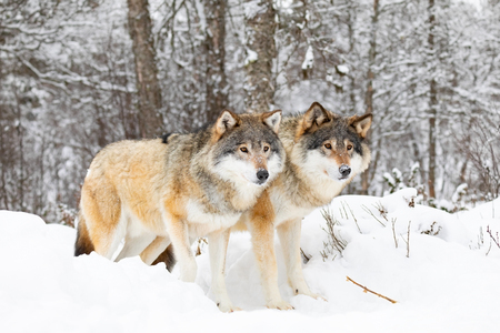 Two magnificent wolves in wolf pack in cold winter forest Stock Photo