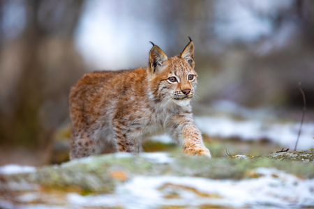 Beautiful eurasian lynx walks in the forest at early winter Foto de archivo