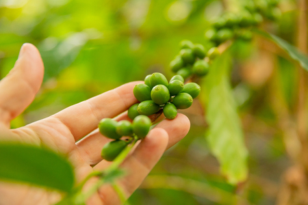 Close-Up Of Man Hand Inspects Fresh Coffee Fruits on Twig