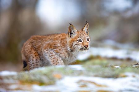 Lince eurasiatica a caccia nella foresta all'inizio dell'inverno