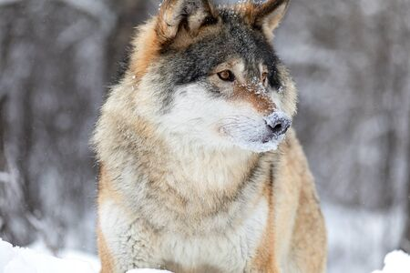 Close-up portrait of a magnificent and focused wolf standing in the woods a cold winter day. Snow on the nose and on the ground.