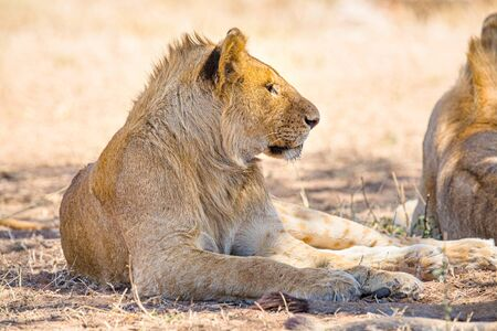 Beautiful young lion male rests in Serengeti Stock Photo