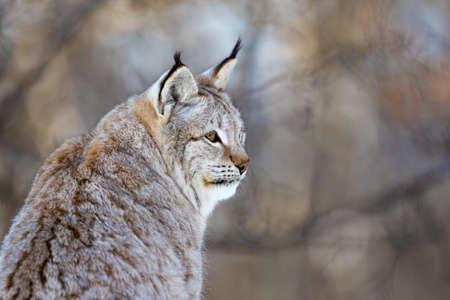 Closeup of Eurasian wild cat looking away
