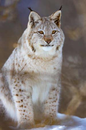 Full length portrait of furry wild lynx cat sitting on snow