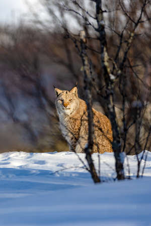 Alert lynx sitting on snow by trees in nature