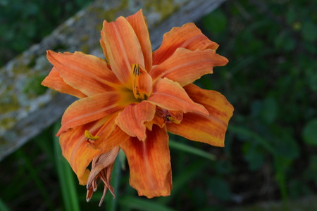 day lily: Double Day Lily FLower