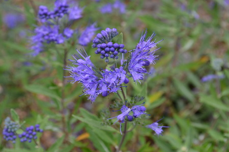 スパイキーの青い花 写真素材