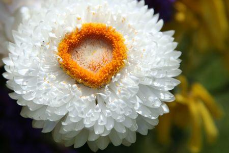 Small White Flower 版權商用圖片