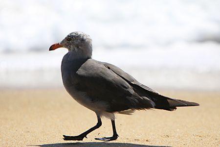 ビーチに沿って歩いてシーガル 写真素材 - 7440833