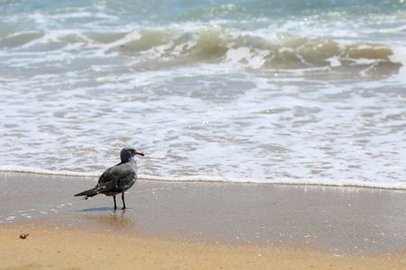 A seagull, standing at the waters edge, looking out.