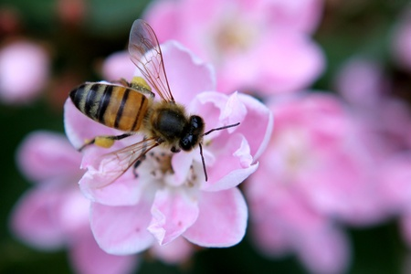 Bee collecting pollen from pink flowers