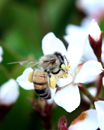 花粉と花粉採集蜂パック足 写真素材