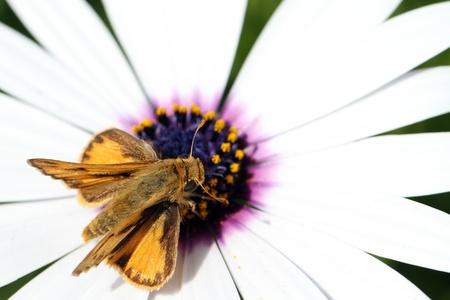 Moth on a flower Фото со стока