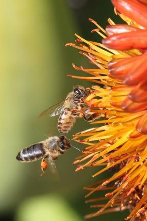 ミツバチ花粉を収集