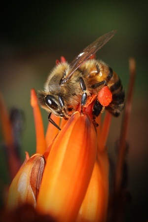 Bee with pollen on his legs on a cactus flower