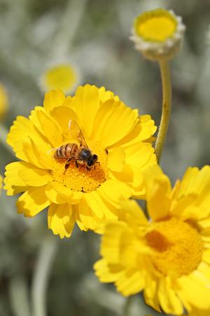 Bee on a little yellow flower Фото со стока