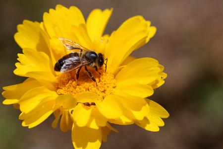 小さな黄色の花に蜂 写真素材 - 62050962