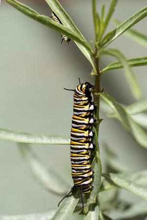 Monarch Caterpillar Фото со стока