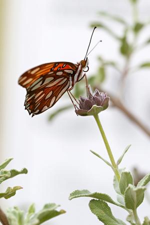 ツマグロヒョウモン蝶 写真素材 - 62051012