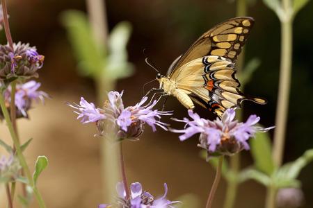 Giant Swallowtail Фото со стока