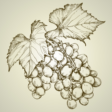 bunch of grapevine Illustration