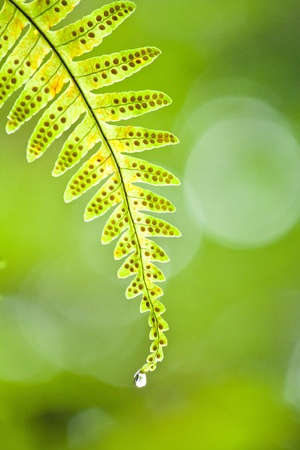 Green fern leaves with drop of water photo