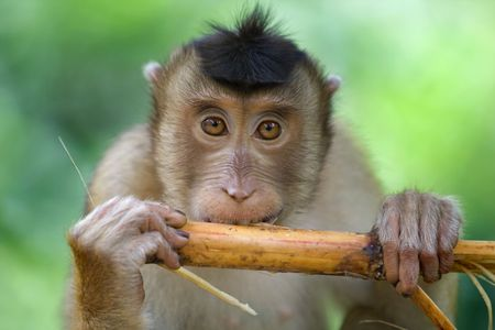 nationale: A macaque monkey in Sabah, Malaysia