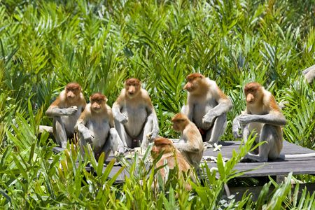 sandakan: Proboscis monkeys in the mangrove, Kota Kinabalu Stock Photo