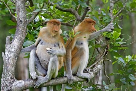 Proboscis monkeys in the mangrove, Kota Kinabalu photo