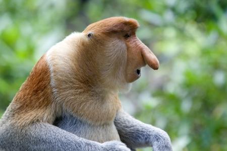 monkey on a tree: A rare proboscis monkey in the mangrove, Kota Kinabalu