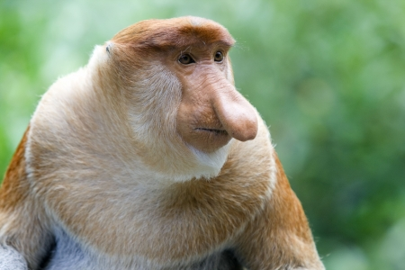 A rare proboscis monkey in the mangrove, Kota Kinabalu photo