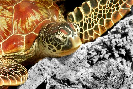 A green turtle at Sipadan, Borneo, Malaysia Stock Photo - 4973657