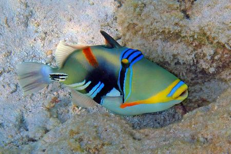 Picasso triggerfish photographed at the Maldives Stock Photo - 4985465
