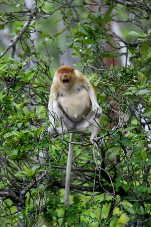 proboscis: A rare proboscis monkey in the mangrove, Brunei