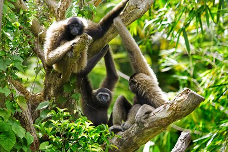 sandakan: Gibbon monkeys in Kota Kinabalu, Borneo, Malaysia