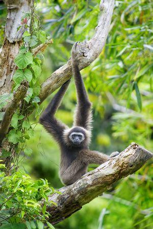コタキナバル、ボルネオ、マレーシアのテナガザル猿 写真素材