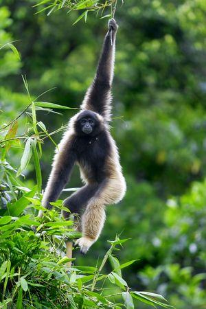 sandakan: A Gibbon monkey in Kota Kinabalu, Borneo, Malaysia