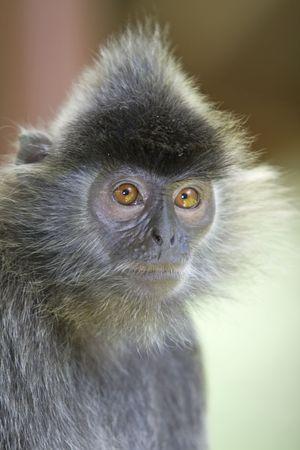 A silver leaf monkey in the mangrove, Kota Kinabalu Stock Photo - 4985499